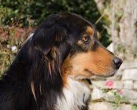 Profile of australian shepherd dog Stock Photo