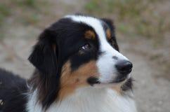 Profile of an Australian Shepherd Dog. Gorgeous profile of an Australian Shepherd dog's face Royalty Free Stock Photography