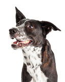 Profile Of An Australian Shepherd Mixed Breed Dog Stock Photo