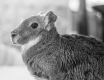 A profile of a baby Capibara. Sideways profile photo of a baby Capibara Royalty Free Stock Photos