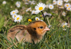 Profile of baby chick royalty free stock photos