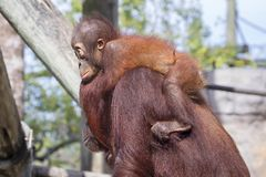 Baby Orangutan Holding Its Mother Stock Photography