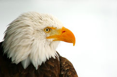 Profile of a Bald Eagle Royalty Free Stock Photo