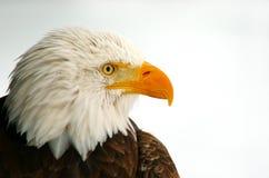 Profile of a Bald Eagle. A Bald Eagle (Haliaeetus leucocephalus Royalty Free Stock Photo