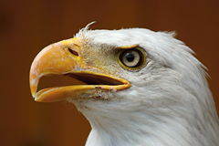 Profile of a bald eagle (Haliaeetus albicilla) Royalty Free Stock Photo