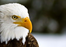 Profile of a Bald Eagle (Haliaeetus leucocephalus) Stock Photos