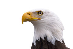 Profile of a Bald Eagle isolated on white. American Bald Eagle  - Haliaeetus leucocephalus isolated on a white background Royalty Free Stock Image