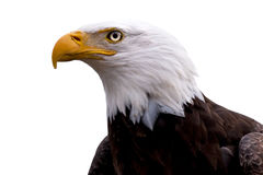 Profile of a Bald Eagle isolated on white Stock Photos
