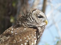 Barred Owl Strix varia. Profile of a Barred Owl royalty free stock image