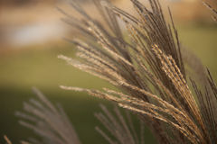 Soft morning light shining on pampas grass Royalty Free Stock Photo
