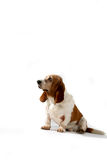 Profile of basset hound dog Stock Photo