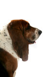 Profile of basset hound's brown head and long ears Stock Image