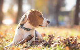 Profile of Beagle dog Stock Photo