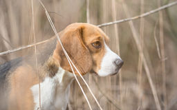 Profile of Beagle dog Royalty Free Stock Photo