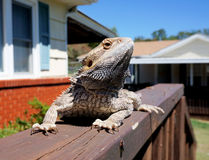 Profile of bearded dragon Stock Photos