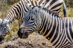 Profile of a beautiful Grevy Zebra in Kenya, Africa Royalty Free Stock Photography