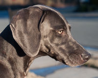 Profile of a beautiful Weimeraner. Beautiful profile head shot of a rescued purebred Weimaraner  dog outdoors Stock Photo