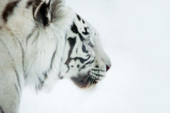 Profile of Bengal white tiger on a white background Stock Photos