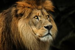 Profile face Berber lion. Profile Berber lion with big yellow eyes. Photo from live animal stock photography