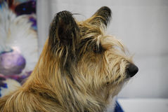 Profile of a Berger Picard Dog Stock Images