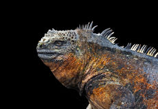Profile of iguana Royalty Free Stock Photo