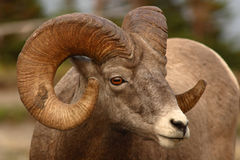 Profile of Bighorn Ram. A profile portrait of a Bighorn Ram with a full curl of horn in Montana Royalty Free Stock Photography