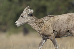 Profile of bighorn sheep. Royalty Free Stock Images
