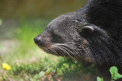Profile of a Binturong. Adorable profile of an Asian Bearcat Stock Photography