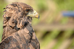 Profile of bird of prey. A close up profile view of a stern, brown bird of prey stock photography