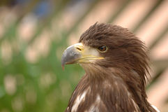 Profile of a bird of prey. Profile view of a powerful bird of prey stock image