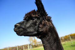 Profile of an Alpaca Royalty Free Stock Image