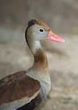 Profile of the Black-bellied Whistling-Duck Stock Photos