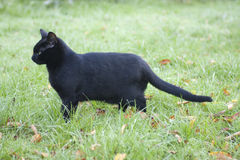 Profile of a black cat royalty free stock photos