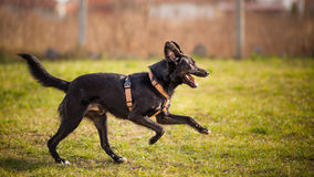 Profile Of A black Dog Running Stock Photography