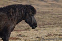 Profile of a Black Icelandic Horse. Beautiful black Icelandic horse profile Royalty Free Stock Photography