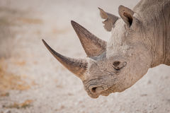Profile of a black rhino, Etosha National Park, Namibia. Profile of a black rhino crossing the dusty road in search of forage, Etosha National Park, Namibia Royalty Free Stock Photography