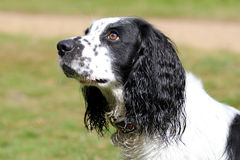 Profile of a black and white cocker spaniel. Royalty Free Stock Photography