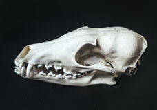 Profile bleached skull of an animal fox lies on black, textured, leather surface. Royalty Free Stock Image