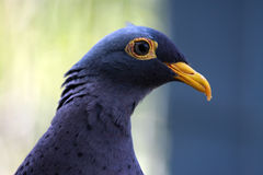 Profile of blue bird. A head shot profile of a beautiful blue bird with yellow markings stock photography
