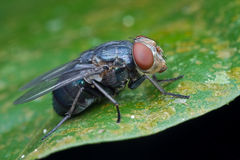 Profile of a blue bottle fly Royalty Free Stock Images