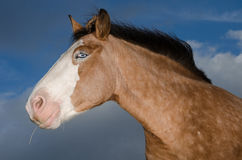 Profile of blue eyes horse head. Against the blue sky Royalty Free Stock Photo