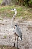 Profile of blue heron. Royalty Free Stock Images