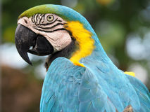 Profile of Blue and Yellow Macaw Closeup Stock Photos