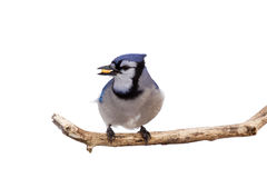 Profile of bluejay with a kernel of corn. Bluejay prepares for takeoff with a kernel of corn in its beak stock image