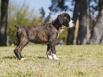 Profile of a boxer puppy at the park Royalty Free Stock Photo