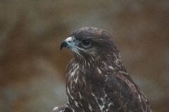 Profile of brown hawk Stock Images