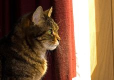 Profile of Brown Tabby Cat. A side profile of a mature brown female tabby cat with big green eyes as she stares out the window Royalty Free Stock Image