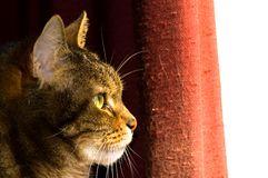 Profile of Brown Tabby Cat. A close up, side profile of a mature brown female tabby cat with big green eyes as she stares out the window Stock Photo