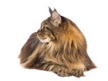 Profile of brown tabby Maine Coon. Brown tabby Maine Coon, on white background royalty free stock image
