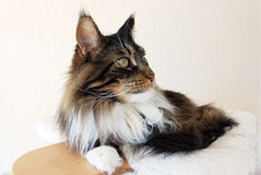 Profile of a Brown tabby with white Maine Coon cat  Stock Photography